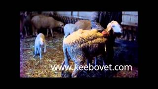 Clinical Examination of Sheep - Taking Temperature, Listening to the Heart, Lungs and Stomach - 58