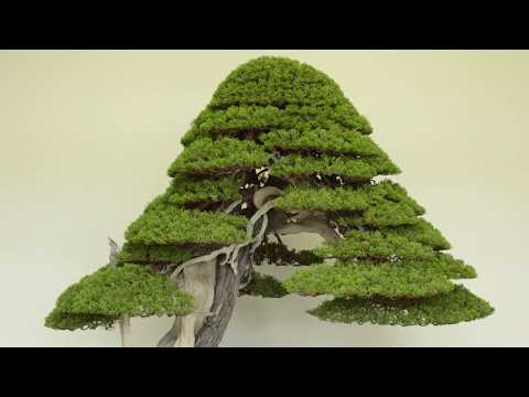 Juniper Bonsai care