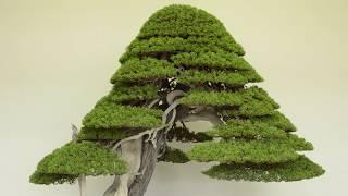 Juniper Bonsai Care Youtube