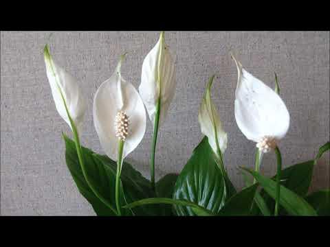 Спатифиллум домашний или цветок женское счастье. Как купить спатифиллум