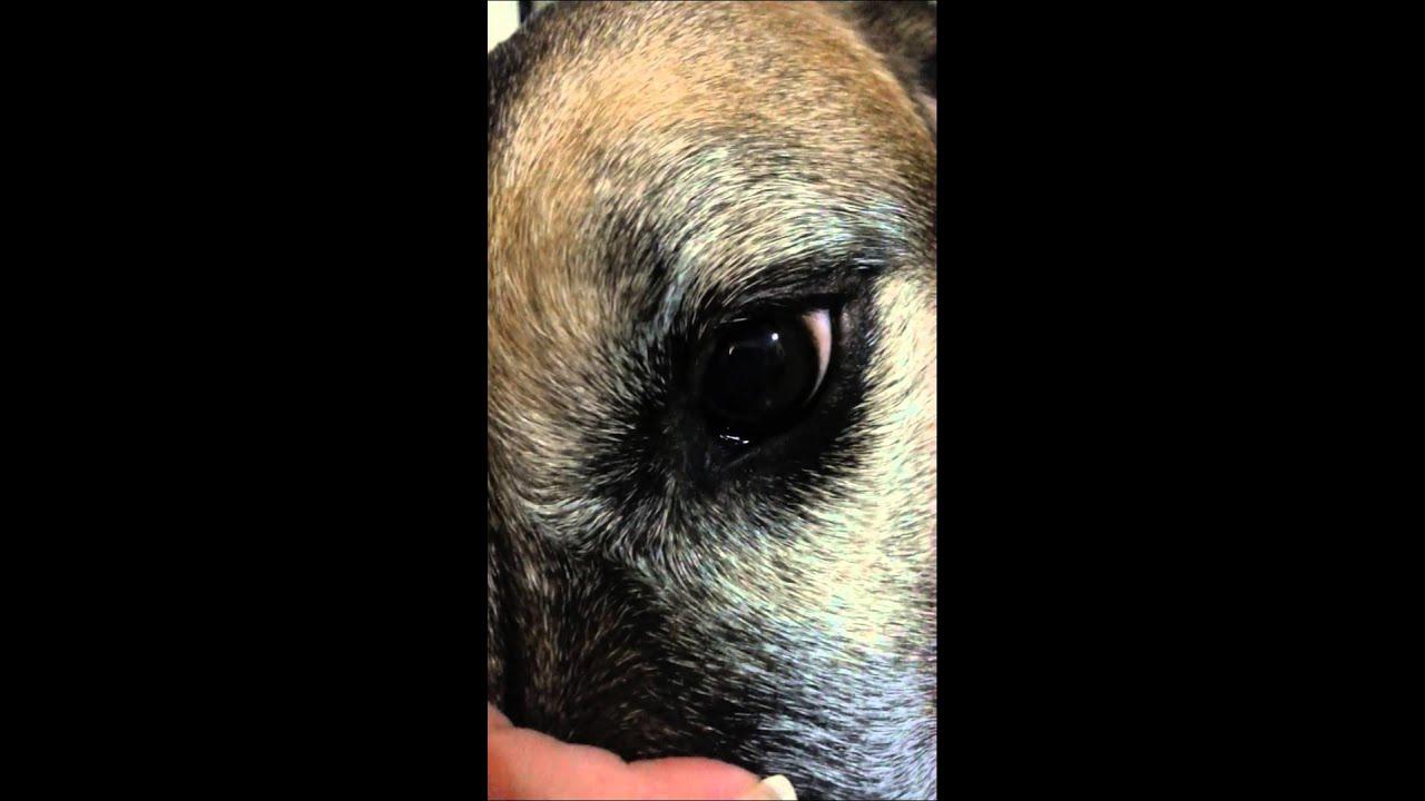 Canine Vestibular Disease Eye Twitching