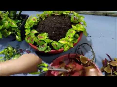 Creative Coleus Plant Ideas In A Pot Coleus Plant Care