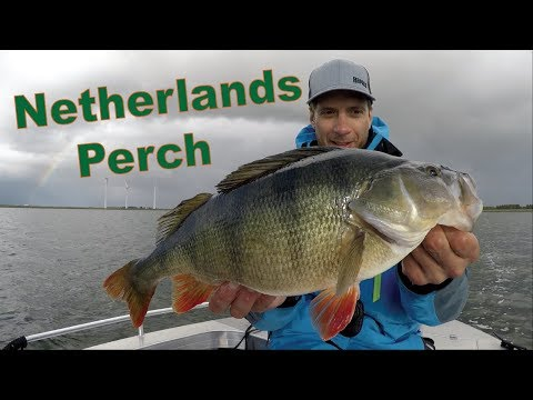 FISHING PERCH On Volkerak (NETHERLANDS)! BARSCH, BAARS, PERCHE.