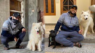 Samoyed Dog in india !