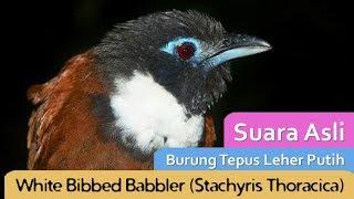 Suara Asli Burung Tepus Leher Putih/White Bibbed Babbler (Stachyris Thoracica)