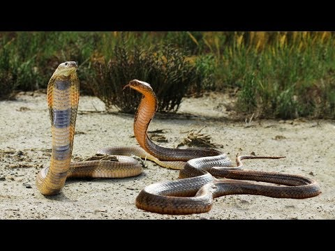 King Cobra VS King Cobra Real Fight To Death | Snake Attack Snake | Most Amazing  Attack Of Animals