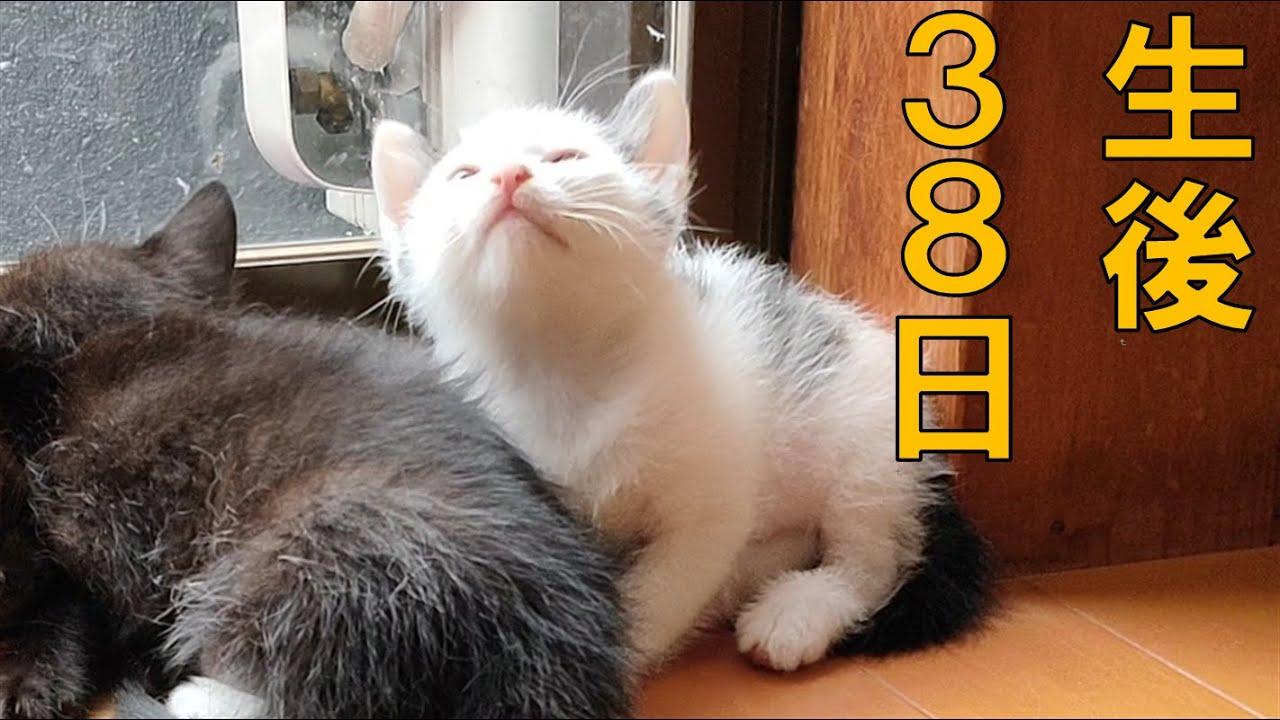 生後38日目の赤ちゃん猫の様子