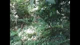 Абхазия   Новый Афон, сад одного из домов мушмула(Абхазия Новый Афон, сад одного из домов мушмула Видео по теме Абхазии:Абхазия,новый афон,абхазия 2015,отдых..., 2015-07-29T21:50:42.000Z)