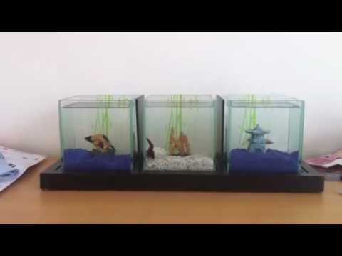 Betta bleu blanc rouge zolux trio combattant youtube for Aquarium zolux