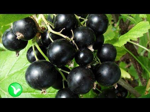 Черная смородина – польза и вред! Кому нельзя есть смородину?
