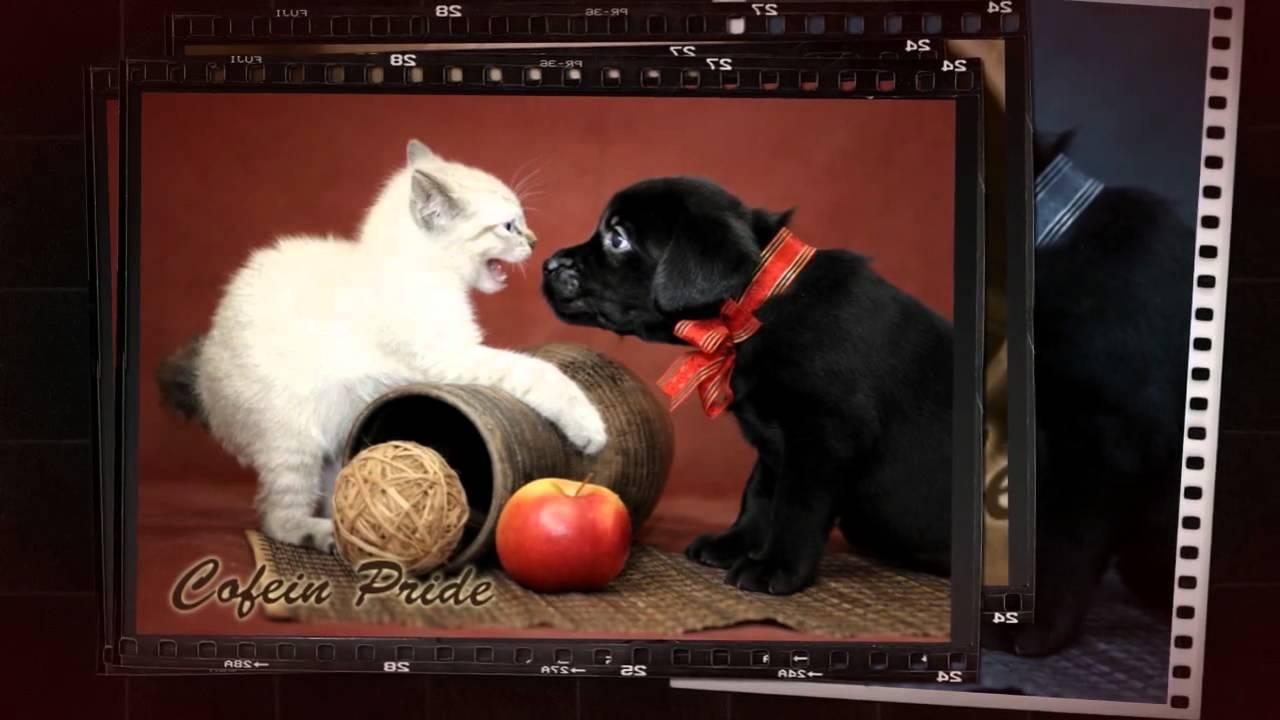 Меконгский бобтейл кошки, коты и котята. - YouTube