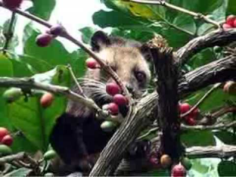 THE ORIGINAL AND HIGH QUALITY LUWAK COFFEE / CIVET COFFEE FROM INDONESIA