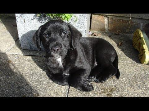 Sid the Labrador English Springer Spaniel Puppy dog. I'm a Labradinger