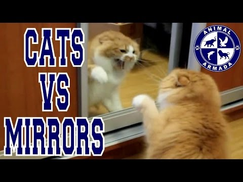 Cats vs Mirrors - cats fighting, dancing and moving to their reflection