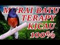 Terapy Kicau Burung Murai Batu Siap Tempur  Mp3 - Mp4 Download