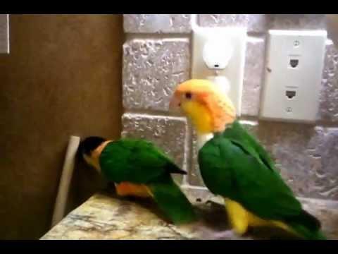 Caique Parrots Pumpkin and Kaba-Punks of the bird world