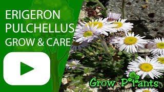 Video Erigeron pulchellus - grow & care (Blue spring daisy) download MP3, 3GP, MP4, WEBM, AVI, FLV Februari 2018