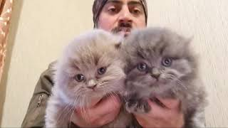 Baby Cat  Cute And Funny Scottis Fold Cats | Cat Videos