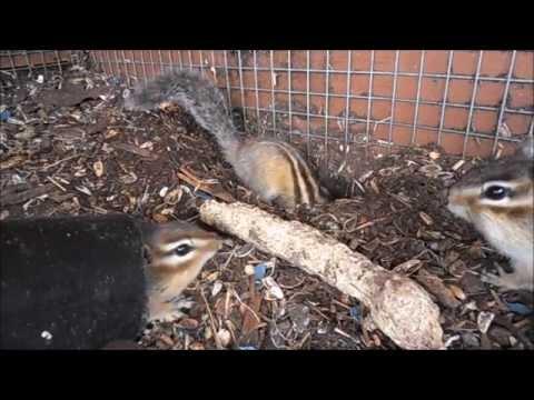 ☼ Chipmunk vlog1 ☼