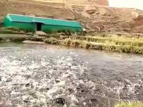 Feeding frenzy - Trout farm - Hermel - Bekaa valley - Lebanon