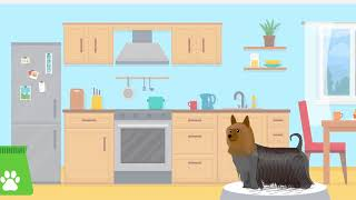 Doggle Guides  Australian Silky Terrier  Dog Breed Info
