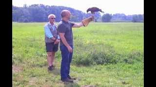Jay at New England Falconry in Hadley MA  (8/25/2012)