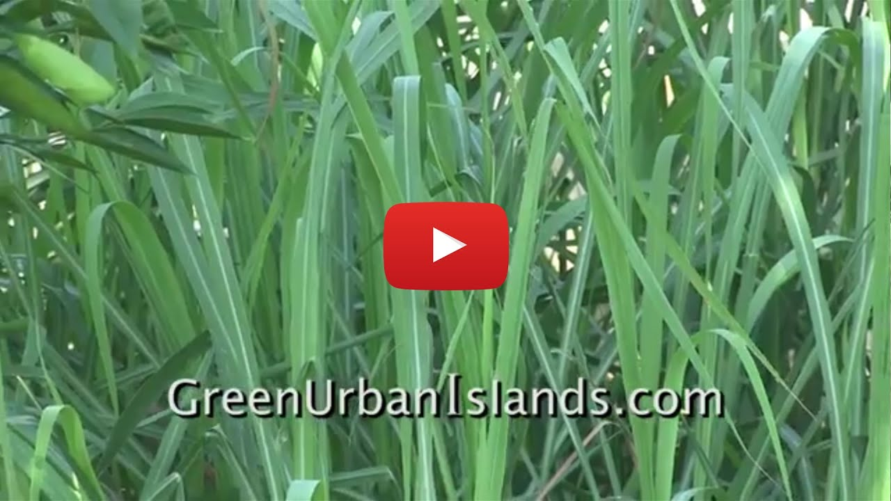How to grow lemon grass - Lemon Grass Grown In Soil Versus Pvc Hydroponic System
