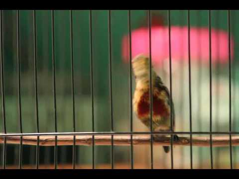 Kolibri Ninja Trotol (Ring KMI 292)