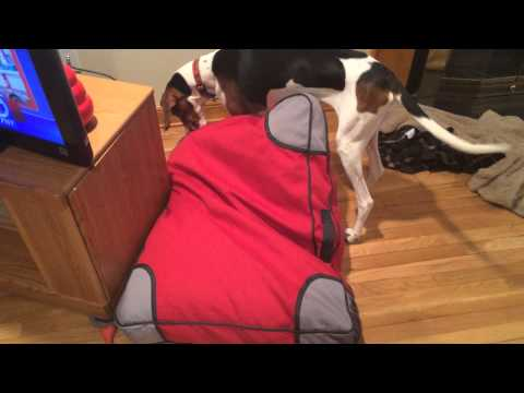 lollie-tests-the-durability-of-a-kong-bed