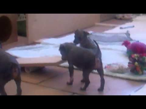 American Hairless Terrier Puppies - Miracle AHTs