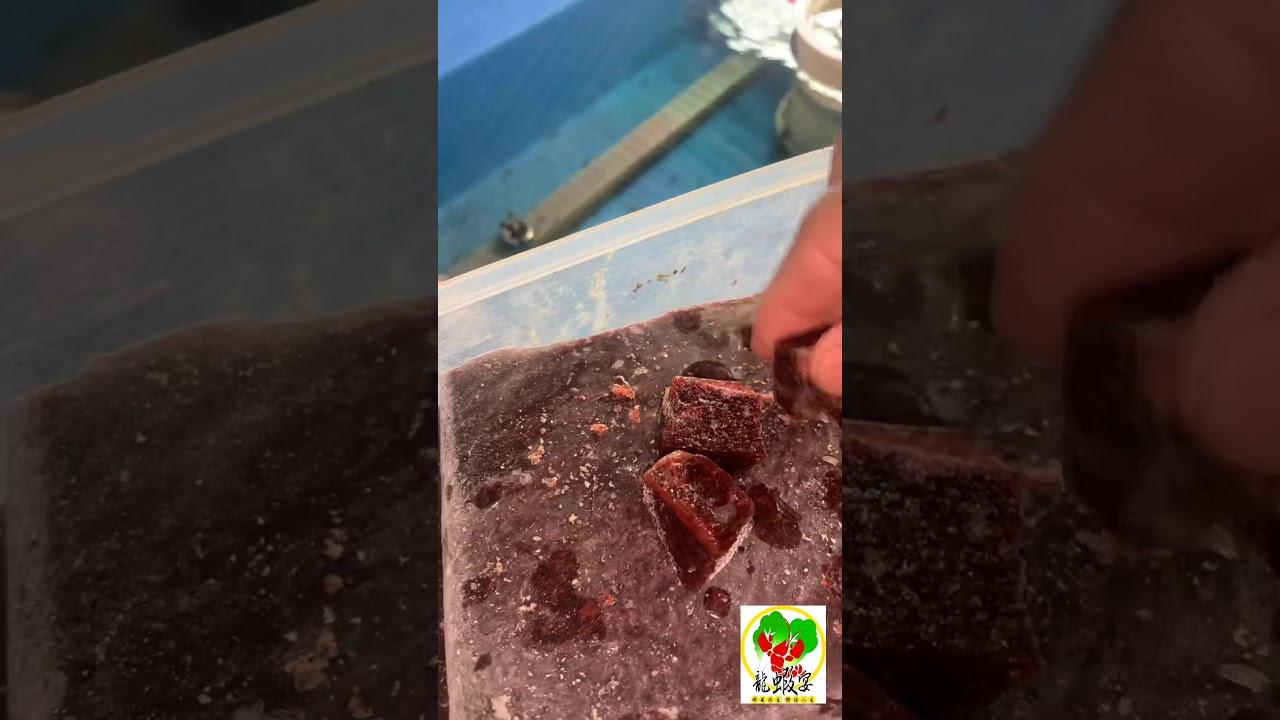 冷凍赤蟲餵養及好壞之分 龍蝦宴~養蝦樂趣多系列