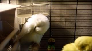 """Выставочные волнистые попугаи """"ЧЕХИ"""" Чистят перья"""