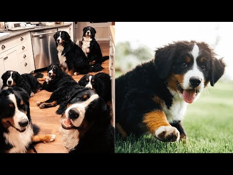LIVING WITH 14 BERNESE MOUNTAIN DOGS!!! Ep.1 || vlog006