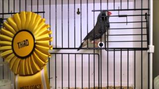 Top 10 - Rare Zebras 2015 West Coast Zebra & Society Finch Show