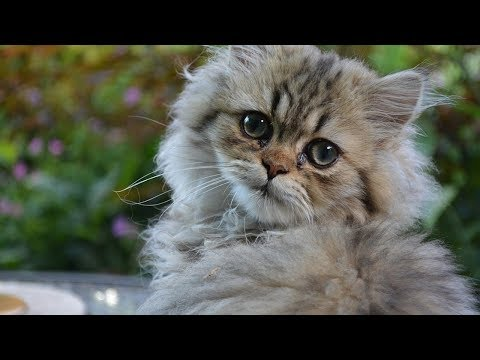 How to Care for Persian Cats - Helping Your Cat with Breathing Issues