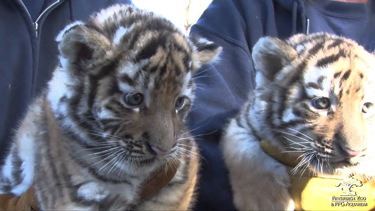tiger cubs meet the public youtube