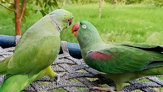 Best Talking And Dancing Parrot