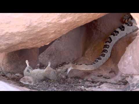 Great Basin Rattlesnake Eating Pack Rat