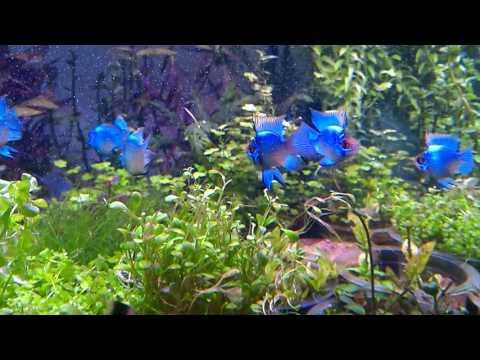 Keep Ram Cichlids Ramirezi In Your Fishtank Aquarium