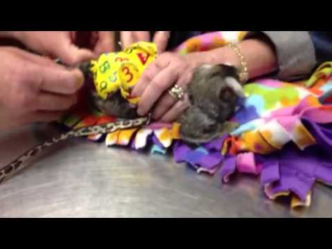 MY COMMON MARMOSETS FIRST DIAPER