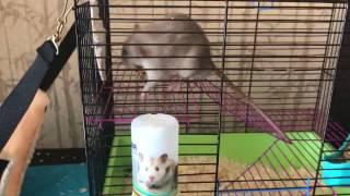 Какого пола крысу лучше взять?