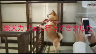 京都の新京極にある京都柴犬カフェです このカフェにいる柴犬は全部メス...