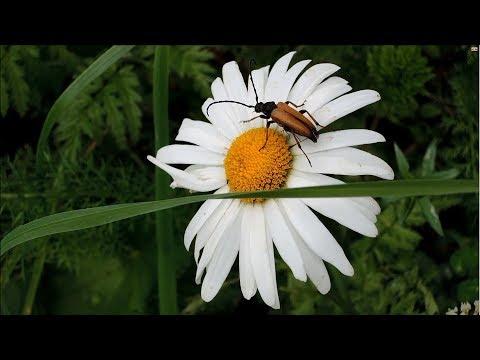 Жуки на ромашке (bugs On A Camomile)