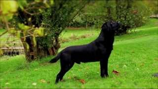 Black Labrador Working Gundog
