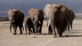 Duma Safaris - On The March With Elephants in Kenya
