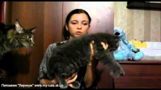 Гейша Диона, котенок мейн-кун 2,5 мес., питомник Лирикум