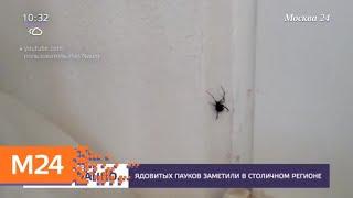 Ядовитых пауков заметили в столичном регионе - Москва 24