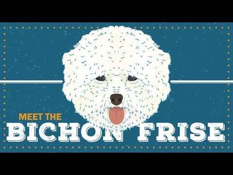 Bichon Frise | Breed Profile