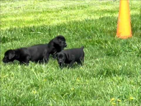 Canis Panther Pups 7 Wks Old Youtube