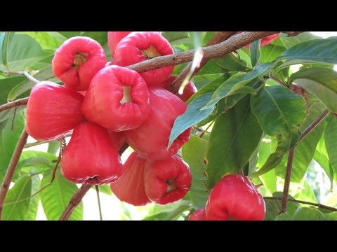Tropical Fruit in California? Jambu Wax Apple